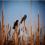 Two birds perched on cattails by the water