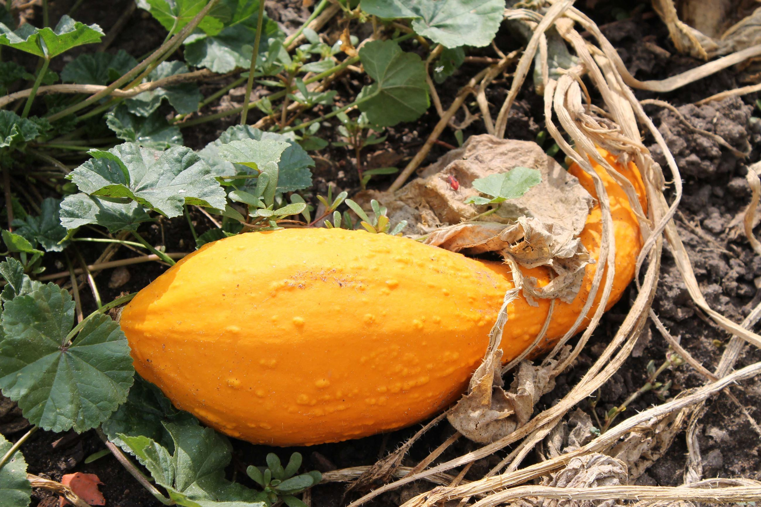 Squash on the vine